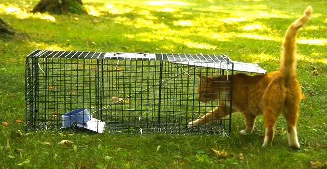 Trap, neuter, release, or TNR, is the practice of humanely trapping feral cats and transporting them to a clinic to be spayed or neutered before returning them to the outdoors.