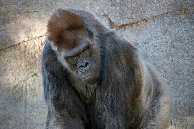 Winston, a silverback gorilla at the San Diego Zoo Safari Park, is shown in his enclosure in Escondido on January 2021.