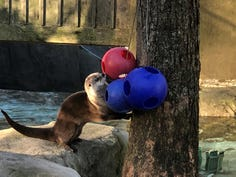 An otter plays at the WNC Nature Center
