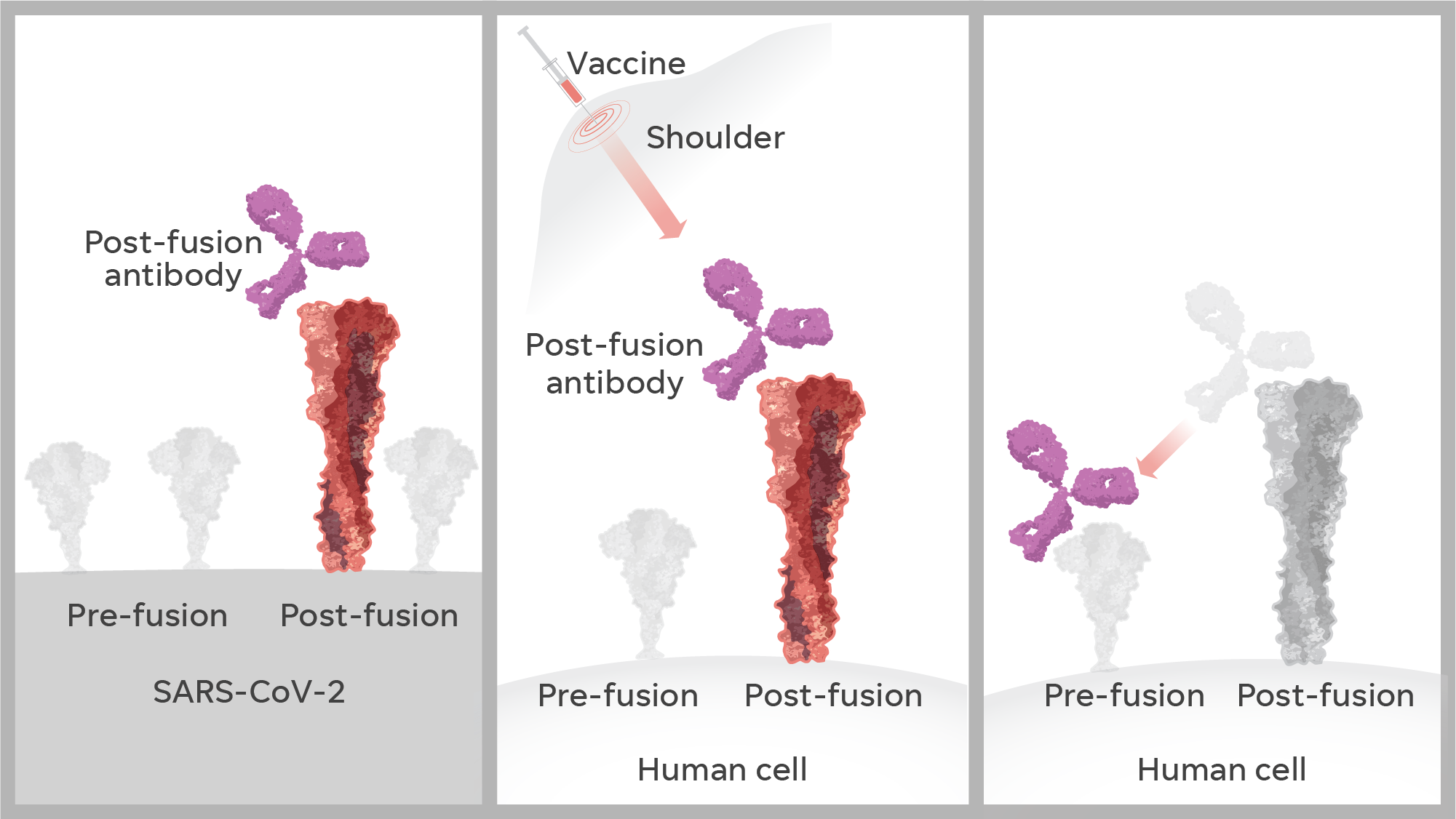 When making a vaccine, scientists discovered in 2013 that the spike proteins on the surface of a virus change shape radically. Before the virus attacks a human cell, the protein looks like a lollipop – its pre-fusion state. Afterward, post-fusion, it looks like a golf tee. A vaccine that mimics the golf-tee shape could produce less effective and potentially harmful antibodies.