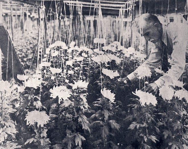 This is Thomas C. Gibson working on some of his 5000+ chrysanthemums in Knoxville, Tennessee.