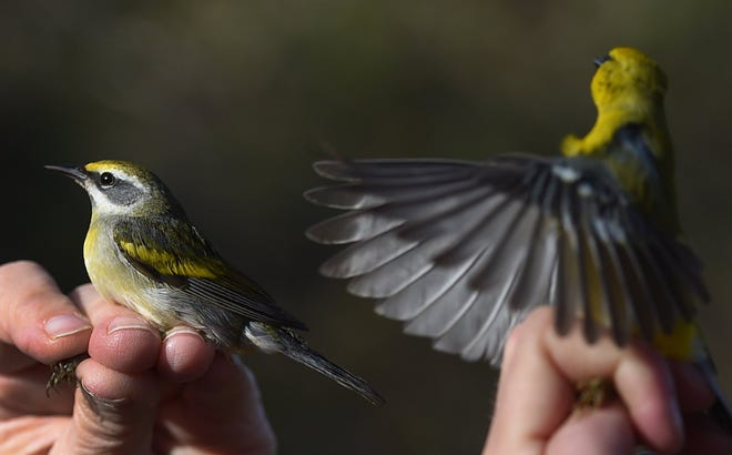 Migrating birds, a golden-winged warbler, left, and a blue-winged warbler, right, are released after being banded by members of the Erie Bird Observatory on May 9, 2018, at Presque Isle State Park in Erie County, Pa. [JACK HANRAHAN/ERIE TIMES-NEWS]