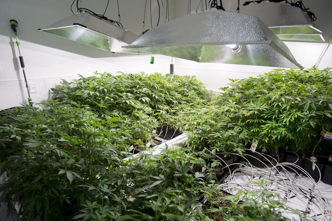 In this file photo from 2016, marijuana plants grow in the vegetation room of In Grown Farms east of Freeport.