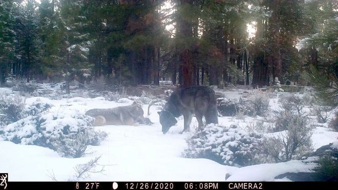 What is believed to be a female gray colored wolf with OR-85 (black colored wolf with green colored satellite location collar) in Siskiyou County in late December. The female is scavenging on an old carcass that is believed to have been possible road kill, said Kent Laudon, California Fish and Wildlife's Senior Environmental Scientist Specialist.