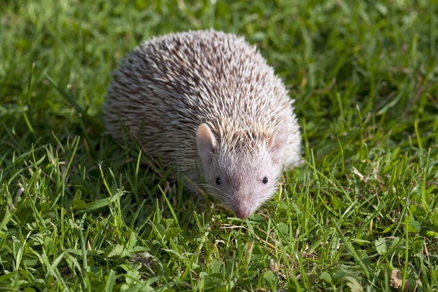 Tenrecs are small insectivorous mammals from Madagascar. Some resemble, but are unrelated to, hedgehogs found in Europe. [Submitted photo]