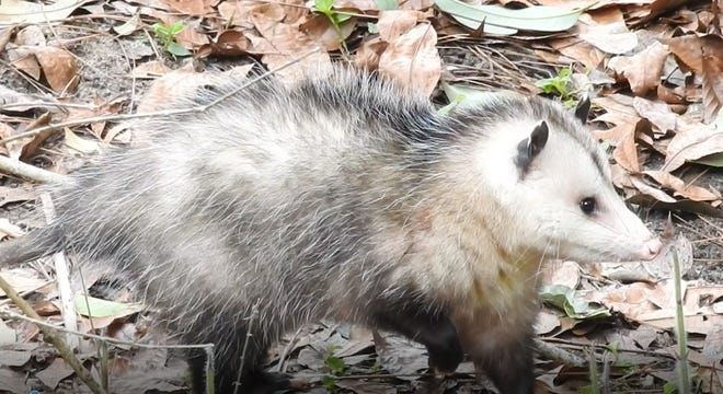 In the VanderMeer yard the opossums that come through the ravine number eight or nine and come in a variety of sizes and attitudes.