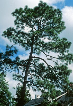 When planting trees consider their mature size, as trees such as this longleaf pine can grow over 100 feet in height with a canopy spread of 50 feet or more.