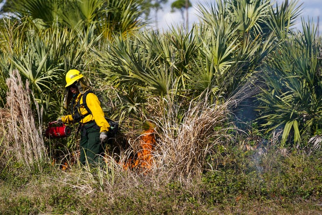 """Florida Park Service park ranger Barbara Tran conducts a prescribed burn in the pine flatwoods on Jan. 27, 2021 at Savannas Preserve State Park in Port St. Lucie. The last time this Savannas Preserve zone burned was in March 2018. """"One of the main reasons for doing prescribed fire especially here at the Savannas is protection of our neighbors, so there is a greatly reduced risk of wildfires getting out of control and getting out of the park and into some of the surrounding neighborhoods,"""" said park ranger Paul Milette (not pictured). """"It's also beneficial to both the plant life and the animal life in the park."""""""