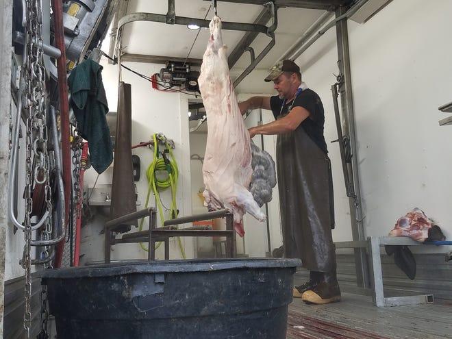 Scott Dobrzynski, abattoir extraordinaire, with a hog shortly after an on-farm inspected harvest.
