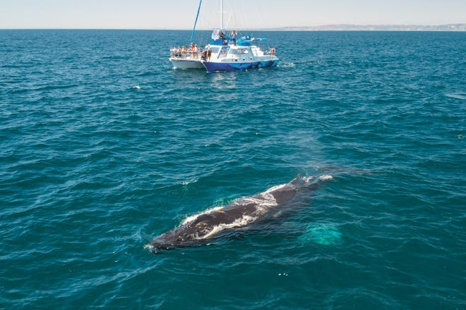 A whale swims by a whale watching boat in Dana Point, California. Dana Point was named the first Whale Heritage Site in the United States Thursday, Jan. 27, 2021.