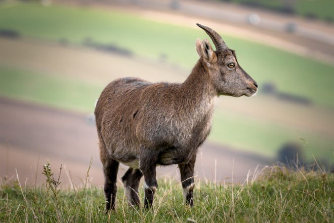 Although the benefits of owning a dairy goat are many, potential owners should be aware of the care requirements to keep their goat healthy and fit for milk production.