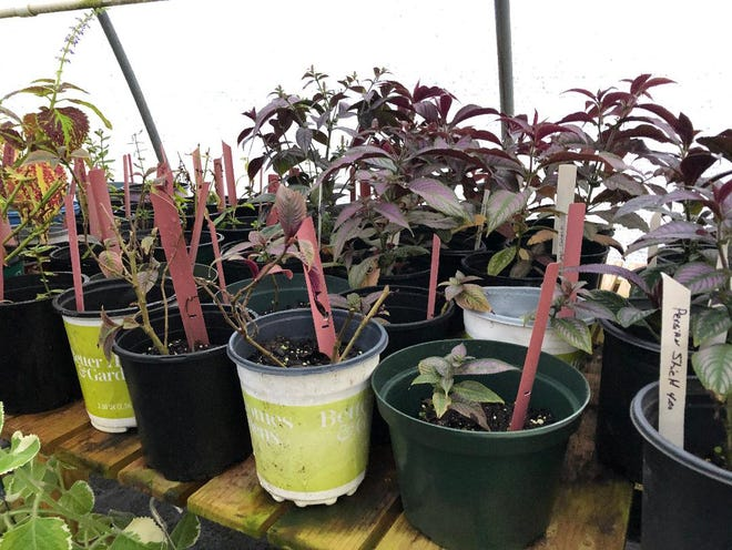 Persian shield is an outstanding plant in the landscape or to be planted in a container. The plant's lovely purple and silver foliage complements an array of other plants.