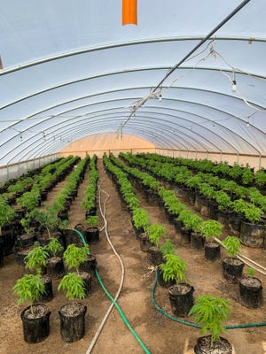 Marijuana plants at an illegal grow in Lucerne Valley on Wednesday, Jan. 27, 2021.