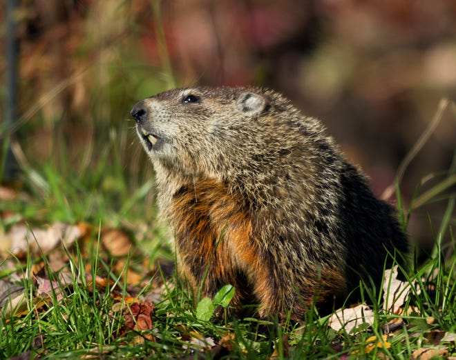 Groundhogs have a 32-day gestation period and deliver four to nine young, which are called kits or cubs.
