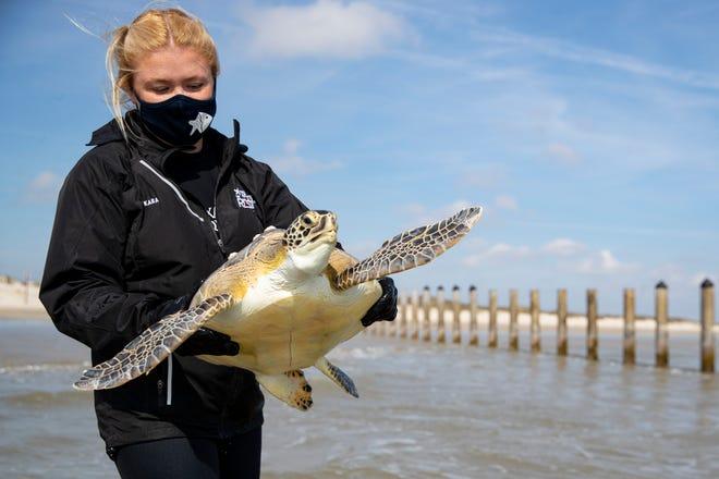 Kara Klaustermeier of the Texas State Aquarium releases a green sea turtle at the Padre Island National Seashore on Thursday, Jan. 28, 2021.