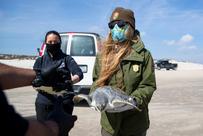 Donna Shaver, chief of the Division of Sea Turtle Science and Recovery, hands off a green sea turtle before it's released on the Padre Island National Seashore on Thursday, Jan. 28, 2021.