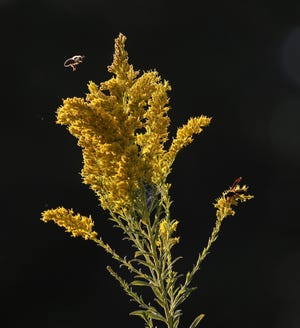 A honeybee and a wasp converge on some goldenrod.