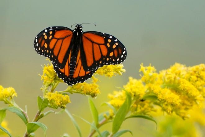 Goldenrods along with milkweed flowers are favorites for the endangered Monarch butterfly.