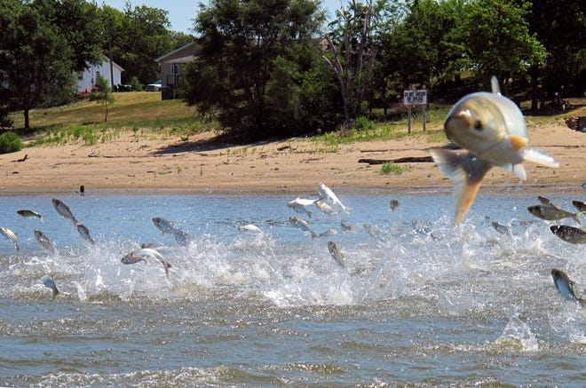 In this 2012 file photo, Asian carp, jolted by an electronic current, jump in and out of the water of the Illinois River.