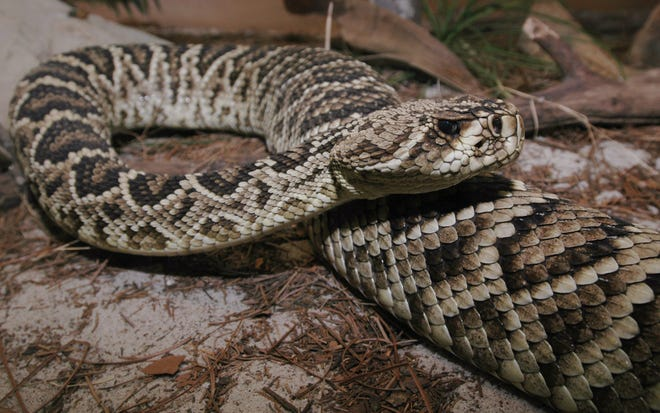 The Eastern Diamondback Rattlesnake is readily identified by the diamond pattern running down his back and loud rattle that should serve as a stern warning to anyone who gets too close.