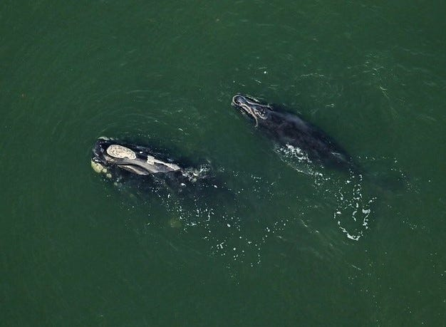 A North American right whale and her calf.
