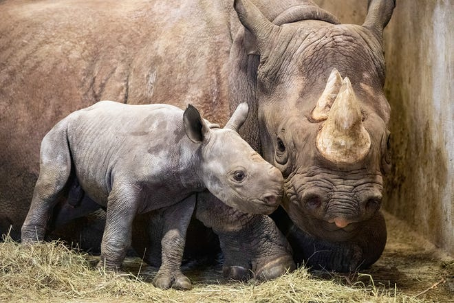 Lee Richardson Zoo is celebrating the birth of a baby black rhinocerous. The calf was born on Jan. 20.