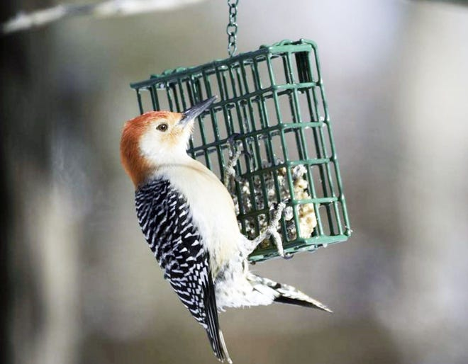 A red-bellied woodpecker (pictured above) enjoys the offerings of a suet feeder. People can learn more about how to attract a variety of birds at a Jan. 30 Missouri Department of Conservation program on winter bird feeding.
