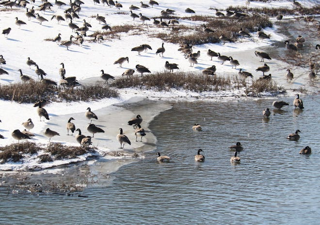 """Pontiac appears to be a vacation destination spot for """"beach-going"""" geese. This gaggle seems to be enjoying the offerings of the Vermilion River Friday."""