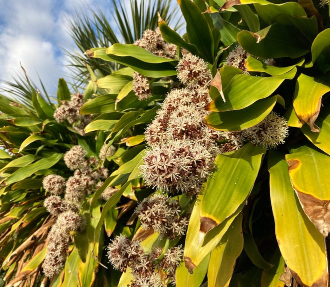 The corn plant, aka dracaena, often flowers in fall and winter following a temperature drop.