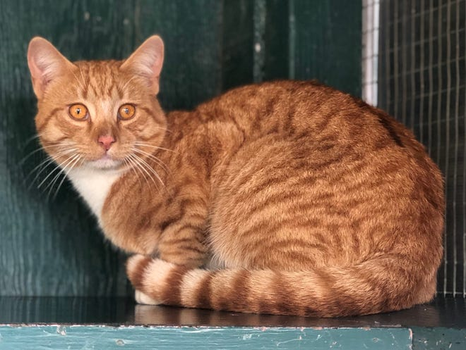 Peter, a 1-year-old domestic shorthair, is available for adoption at Pets in Pals in Lathrop.