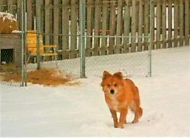 A little furry dog that looks like a fox has captured hearts in a Fond du Lac neighborhood where the pup has evaded capture for two months.