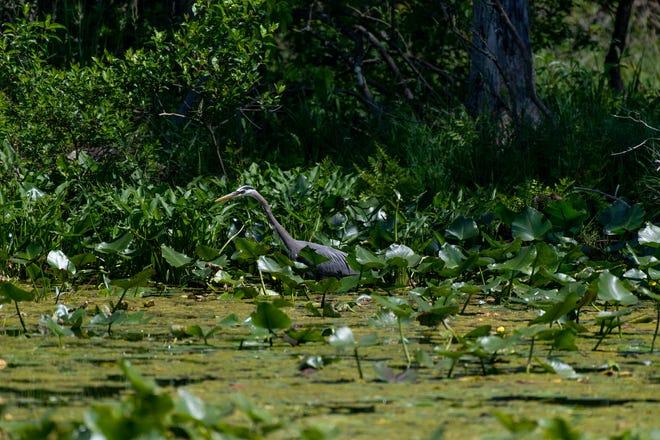 A heron wades in a biodiverse wetland.