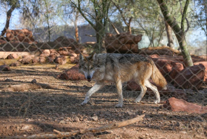 Jade, a Mexican gray wolf, quickly assumed the role of alpha among her sisters after her parents and brothers were transferred from Phoenix to El Paso.