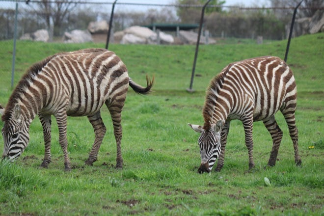 A pair of zebra do some grazing along the African Safari Wildlife Park's drive-thru area, which will soon be getting a new 22-acre expansion as it prepares to open for its 53rd season this year.