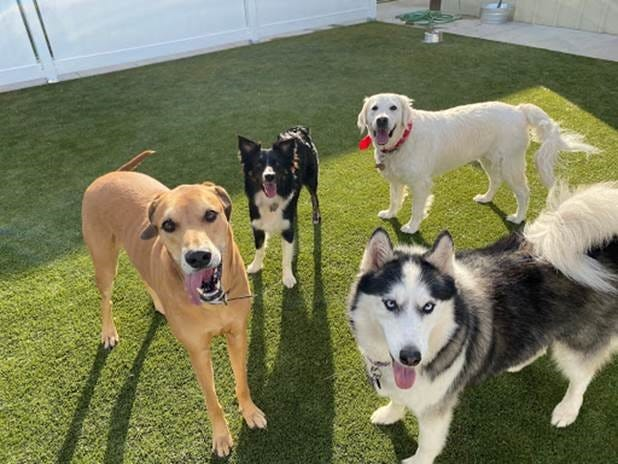 Canine guests socialize at Le Chateau Pet Resort which recently opened in Wichita Falls.