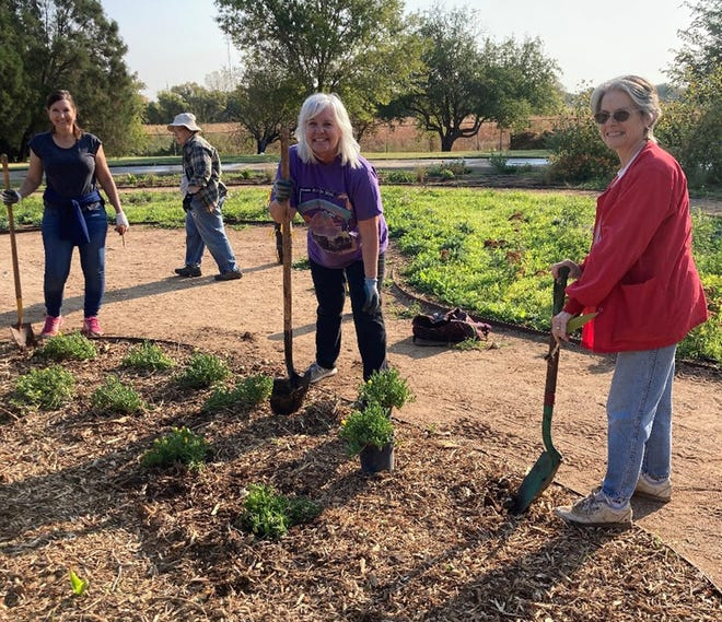 Volunteers Liz Wagner, Linda Ivey, Melissa Chamales and Tess Trost transplant ice plants at the Wildflower Garden at the Lubbock Memorial Arboretum.