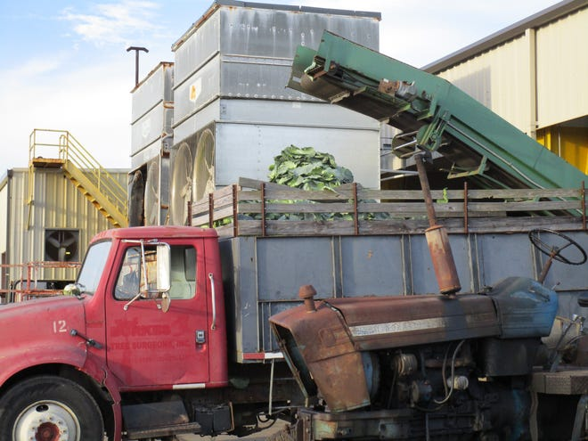 A truck collected non-marketable cabbages and leave that are then used for cattle feed.