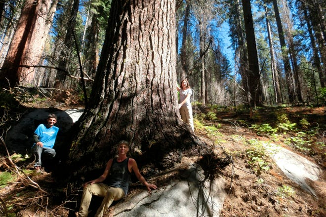 This undated picture provided by Sugar Pine Foundation shows tree hunters, from left, Ben Fetzer, Michael W. Taylor, Maria Mircheva posing with the second tallest sugar tree in Yosemite, Calif. Michael W. Taylor, a big tree hunter who has been charting some of the largest trees in the West for more than a decade has added three in the Sierra Nevada to the list of tallest sugar pines known to exist in the world. (Sugar Pine Foundation via AP)