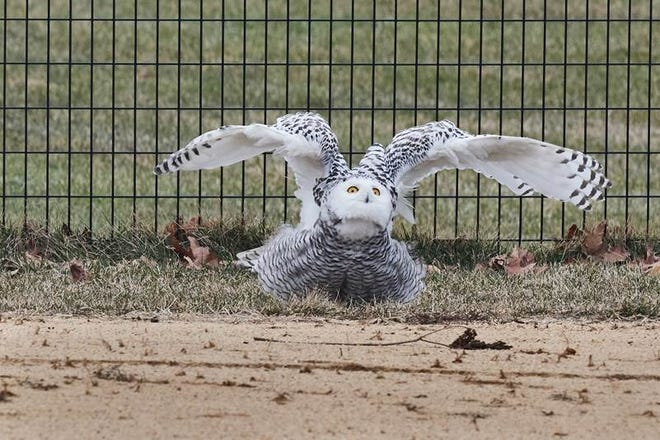 A snowy owl was seen in Central Park in New York City on  Jan. 27, 2021.