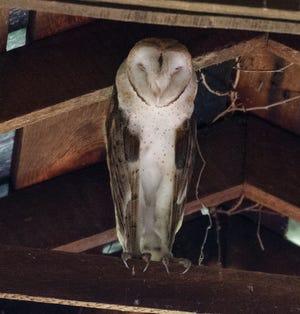 A barn owl dozes on a barn's hay rail in southern Ohio.