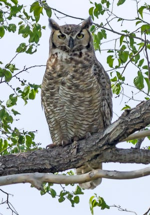 A great horned owl perches in a cottonwood tree at the Nature Center's River Campus in Pueblo. They are commonly seen at dusk along the river as they hunt waterfowl and small mammals.