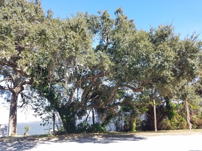 Planting a tree on a small lot? A live oak isn't your best option.