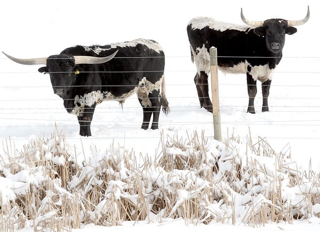 Two Texas longhorn cattle is seen out in a pasture near a frozen pond at Mountain View Longhorns on Ohio 511 south on Tuesday, Feb. 2, 2021. TOM E. PUSKAR/TIMES-GAZETTE.COM