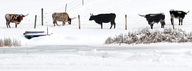 Five Texas longhorn cattle are seen out in a pasture near a frozen pond at Mountain View Longhorns on Ohio 511 south on Tuesday, Feb. 2, 2021. TOM E. PUSKAR/TIMES-GAZETTE.COM