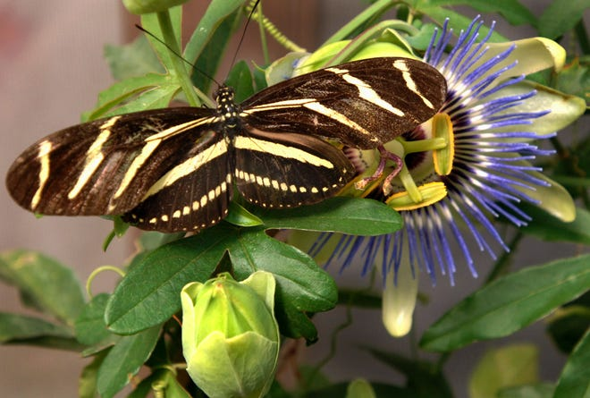 The Zebra Longwing, Florida's state butterfly, prefers passionflower vines. The butterflies can be found even in cold weather.