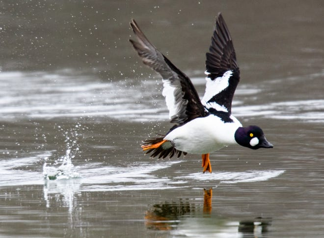 A common goldeneye takes flight. Learn to identify ducks and common visitors to your backyard feeder in a series of Sunday morning bird walks at the Audubon Nature Center and Aquarium in Bristol.