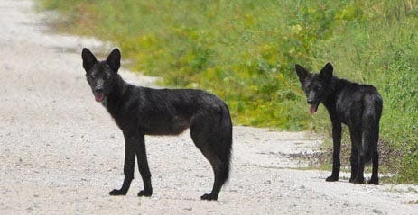 These two black coyotes were photographed on a Wildlife Management Area in Florida.