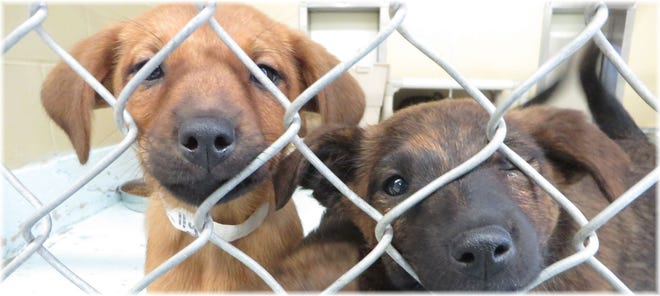 Two stray dogs that came into the Siskiyou Humane Society.