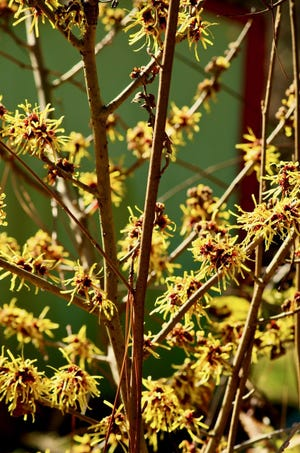 Witch hazels are especially colorful in winter. They bloom from fall through midwinter in the Cape Fear region.