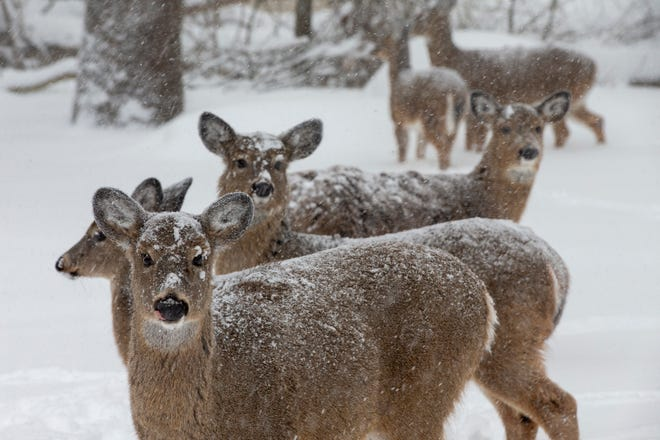 The hair on a deer is designed to insulate them from the harshest of conditions.